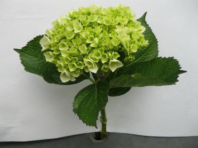 Hydrangea Machrophylla Lime